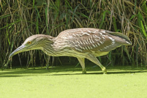 Immature black Crowned Night Heron in the Skokie Lagoons in Illinois